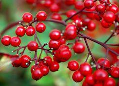 #ARDISIACRISPA o #ARDISIACRENATA, comunemente detta pianta dalle #baccherosse, originaria di #Cina ed #India, di colore #rosso vivo e lucido.