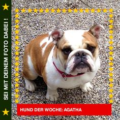 English Bulldog Agatha Best Bully ever! #Hund: Agatha / #Rasse: English Bulldog Mehr Fotos: https://magazin.dogs-2-love.com/hund-der-woche/english-bulldog-agatha/ Foto, Hund, Rasse