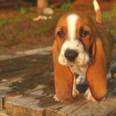 {can't even handle it... baby basset hound!!!}