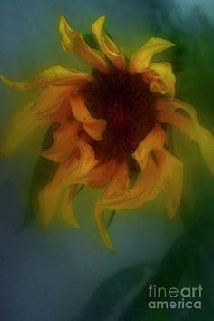 Beautiful Sunflower Photograph - Sunflower. by Alexander Vinogradov