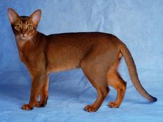 """Click visit site and Check out Cool """" Abyssinian """" Cat Shirts. This website is…"""