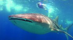 Diving with Whales Sharks - Best thing to do in Mozambique