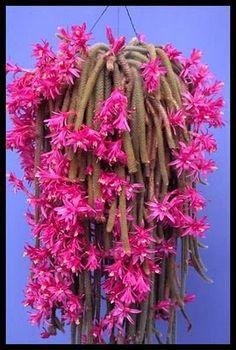 Aporocactus Flagilliformes