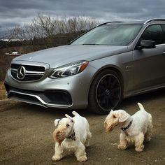 Two Sealyhams and One Mercedes Mercedes Benz Amg, E63 Amg Wagon, Terrier Breeds, Terriers, Sealyham Terrier, Daimler Ag, Benz E Class, Dog Modeling, Logan