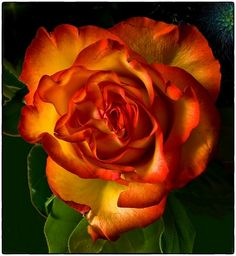 #Yellow-#Orange #Rose by Cor Pijpers, via 500px