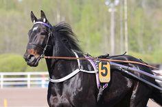 Onirique muutti pohjoiseen - Hevosurheilu.fi