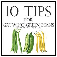 10 Tips for Growing Green Beans - A Healthy Life For Me Growing Green Beans Trellis, Growing Green Peppers, Growing Beans, Growing Veggies, How To Grow Cherries, Bean Garden, Bean Trellis, Growing Blackberries, Healthy Beans
