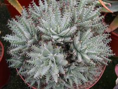 Aloe erinacea is a rare species of succulent plant in the genus Aloe with rounded, ball-shaped rosettes, brownish green leaves and the particularly...