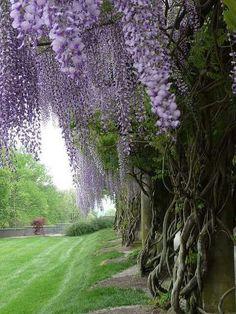 Lilacs?