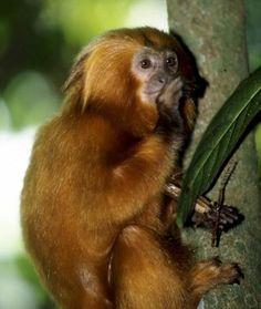 mico leao dourado natureza