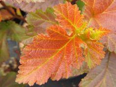 Buntes Laub der Fasanenspiere Amber Jubilee ® Hydrangea Macrophylla, Bunt, Plant Leaves, Elisabeth Ii, Plants, Orange, Lawn And Garden, Autumn Leaves, Landscape Nursery