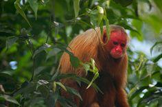 Foto: Aaron MartinTambém conhecidos como uacari-de-cara-vermelha, ainda sabe-se pouco a respeito dessa espécie ameaçada de extinção que vive em florestas inundadas da Amazônia. A face, as orelhas e a genitália são desprovidas de pelos, e quando ameaçado ou irritado, sua face fica mais avermelhada.