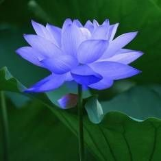 10Pcs Sapphire Lotus Seeds