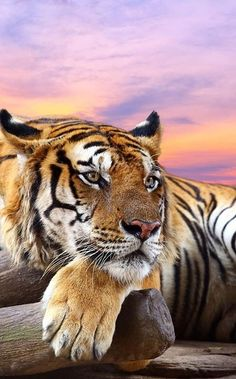 Tiger and a Sensational Sunset. Animals Are Beautiful People, Beautiful Cats, Beautiful Creatures, Big Cats, Cool Cats, Cats And Kittens, Panthera Tigris Altaica, Ocelot, Animals And Pets