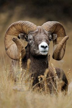 The bighorn sheep (Ovis canadensis) is a species of sheep native to North America named for its large horns. These horns can weigh up to 14 kg lb), while the sheep themselves weigh up to 140 kg. Wildlife Nature, Nature Animals, Farm Animals, Animals And Pets, Cute Animals, Wild Animals, Beautiful Creatures, Animals Beautiful, Animal Original