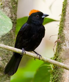 Tawny-crested Tanager, Tachy-phonus delatrii