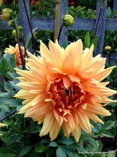 Light Orange Dahlia