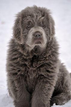 Platinum Newfoundland / a newfoundland completed the entire Lewis & Clark Expedition (over 8,000 miles).... s/he's beautiful! I need this dog.