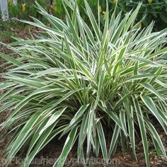 """Flax Lily - Variegated. 1-3' x 1-3'. Sun to Shade, e/green. zones 8-11. 1gall=$2.50 apprx 12-18""""..   RESULT ==> RUST on EVERY PLANT in EVERY LOCATION."""
