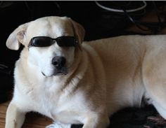sunglasses meme dog with sunglasses wh - sunglasses Sunglasses Meme, Cute Puppies, Cute Dogs, Canis, I Want To Cuddle, Purple Aesthetic, Aesthetic Makeup, Wearing Glasses, Rare Animals