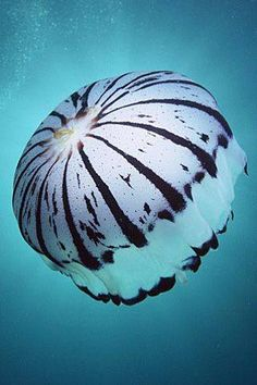 Zebra Striped Jellyfish