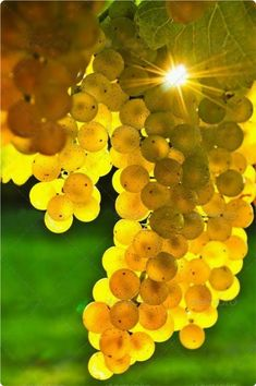 Nadire Atas on Wine Making From Grapes Yellow grapes growing on vine in bright sunshine by Elena Elisseeva - Sundiamond Fruit And Veg, Fruits And Vegetables, Fresh Fruit, Wine Vineyards, Beautiful Fruits, Growing Grapes, In Vino Veritas, Delicious Fruit, Wine Time