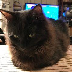 うちの近所に住んでいた野良猫ちゃん。 妙にうちの奥さんに懐いて、スリスリ攻撃の可愛さに耐えられず、うちの子になりました。 クロッキーくんです。 #ねこ#愛猫#かわいい #いやし
