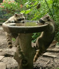 """""""Thirsty Raccoons.""""                                                                                                                                                                                 More"""