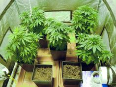 : Ecologist Designs Water Filter For Marijuana Growers Cannabis Seeds For Sale, Plant Diseases, Marijuana Plants, Medical Marijuana, Hemp, Treehouses, Fresh Start, Water Filter, Noel