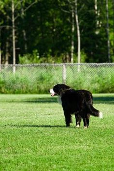 Dog owners love their pets, often treating four-legged friends as members of the family. However, dogs, including those that are uninvited, can cause serious damage to the lawn, as urine and feces ...