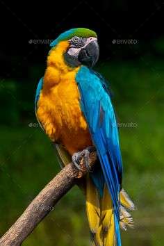 Parrot bird (Severe Macaw) sitting on the branch by byrdyak.-- Parrot bird (Severe Macaw) sitting on the branch by byrdyak. Parrot bird (Severe Macaw) sitting on the branch on dark background Pretty Birds, Beautiful Birds, Animals Beautiful, Cute Animals, Parrot Drawing, Parrot Painting, Parrot Pet, Parrot Bird, Parrot Toys