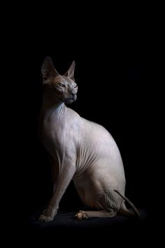 'Disturbing Beauty of Hairless Cats' sphynx, sphynxes, hairless, cat, photograp… Gato Munchkin, Cute Cats, Funny Cats, Sphinx Cat, Cat Photography, Image Hd, Cat Breeds, Cat Memes, Belle Photo