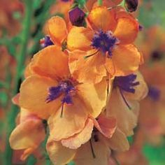 Verbascum 'clementine'. (Thompson and Morgan) I don't normally like orange, but this is stunning.