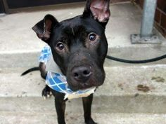 TO BE DESTROYED 12/27/13  Manhattan Center -P   My name is MAKSIM. My Animal ID # is A0987532.  I am a male black and white pit bull mix. The shelter thinks I am about 1 YEAR 6 MONTHS old. STRAY on 12/16/2013.  He's super friendly, happy to make new friends, tail wagging constantly at everyone. Likely housetrained, He's looking for an active family as he loves to play and scamper, and is hoping to meet them quickly. He's a small boy so will fit into any living situation.