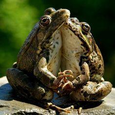Frog Love | Shot by Russian photographer Igor Torgachkin thi… | Flickr
