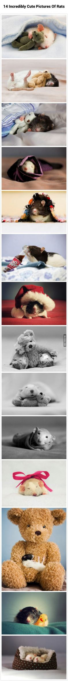 14 Incredibly Cute Pictures Of Rats
