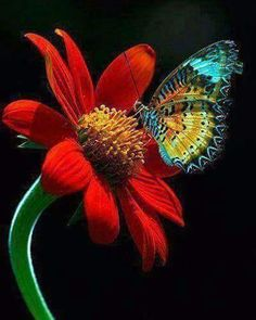 Curiosidade Batizada de gérbera (Gerbera jameso-ni) em homenagem ao naturalista alemão Traug Gerber, que a descobriu na África do Sul, esta flor de corte é uma das preferidas dos floristas. Não é para menos: são cerca de 20 cores. Etimologia: Jan Frederic