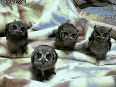 I need 4 baby owls please!
