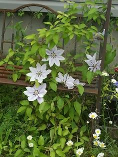 Nelly Moser Clematis ~