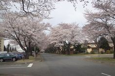 Cherry Blossoms at Yokota Air Base, Japan