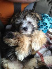 Baby Chyna Chinese Crested Powder Puff, Beautiful Dogs, Baby, Animals, Cute Dogs, Animales, Animaux, Newborns, Infant