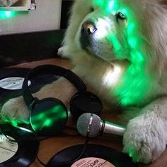 14 Cheerful Chow Chow Pictures Proving That Coronavirus Quarantine Can Be Spent With Positive | Page 3 of 3 | PetPress Chow Chow Dogs, Good Movies, Cheer, Positivity, Canning, Cats, Pictures, Animals, Photos