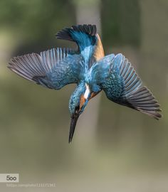 Kingfisher by MattiaSarini Swan Pictures, Pictures To Draw, Beautiful Pictures, Pencil Drawings Of Animals, Bird Drawings, All Birds, Little Birds, Pretty Birds, Beautiful Birds