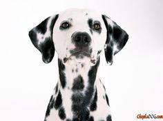 Foto gehorsamen Hund Rasse Dalmatiner