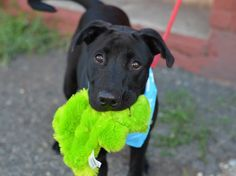 TO BE DESTROYED 8/27/14 Brooklyn Center ~~PUPPY ALERT!!~~ My name is JAKE. My Animal ID # is A1011258. I am a neutered male black and white labrador retr mix. The shelter thinks I am about 9 MONTHS old. I came in the shelter as a OWNER SUR on 08/20/2014 from NY 11236, owner surrender reason stated was MOVE2PRIVA.