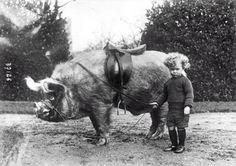 Pig rider, 1930s. That's a BIG, ugly hog!