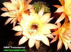 'Traisenprinz' Hildewintera Hybrid