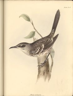 Chatham Mockingbird from San Cristobal. Collected by Charles Darwin and illustrated and named by John Gould.