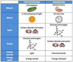 Great diagram for teaching photosynthesis and respiration has a chart comparing photosynthesis to respiration this image is also a link to a pdf containing the tabel and its information ccuart Gallery