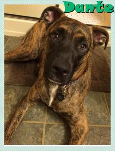 Meet Dante, a Petfinder adoptable Boxer Dog | Portland, OR | Dante7months oldGood with dogs and catsLearning basic commandsCrate TrainedHigh EnergyDante is a...
